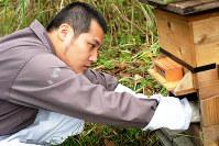 ミツバチの巣箱を手入れする西村大輔さん。地域おこし協力隊の任期終了後は、養蜂を生活の糧の一つにしようと考えている=兵庫県朝来市で、西村さん提供
