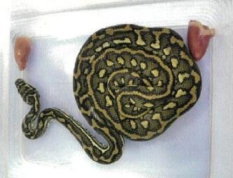 「ニシキヘビ 行方不明 動物園」の画像検索結果