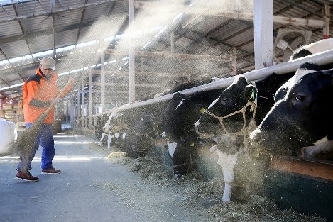 原乳出荷を再開し、乳牛に餌をやる蛭田博章さん=福島県葉町で2017年1月24日午前11時1分、森田剛史撮影