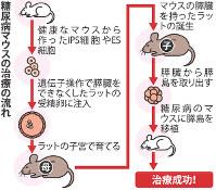 糖尿病マウスの治療の流れ