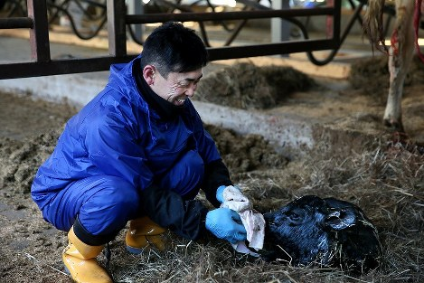 原乳の出荷を再開した朝、笑顔を見せながら生まれたばかりの子牛を拭く蛭田博章さん=福島県楢葉町で2017年1月24日、森田剛史撮影