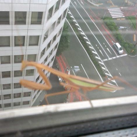 青山の高層ビルにて。景色を撮ろうとして、画面の中のカマキリに気がついた。高いのヘッチャラ君でした