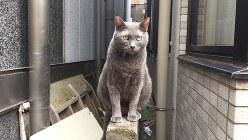 東急目黒線・武蔵小山駅近くの飲み屋街で撮影したロシアンブルーの野良猫=2015年8月、筆者撮影