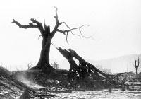 (14)二つに折れた広島城内のクスノキ(爆心地から980メートル)=現広島市中区基町で1945年8月9日、広島平和記念資料館(原爆資料館)検証