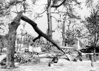 (16)爆風で折れた饒津神社境内の松(爆心地から1800メートル)=広島市二葉の里(現広島市東区二葉の里)で1945年8月9日、広島平和記念資料館(原爆資料館)検証