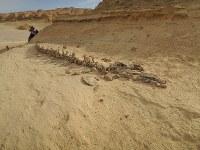 ワディ・アル・ヒタンで屋外展示されている哺乳類の祖先の化石=秋山信一撮影