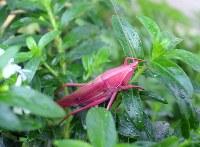 鮮やかなピンクのクビキリギス。放蝶温室にて撮影=福家多恵子さん撮影