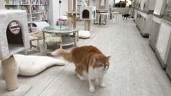 東京キャットガーディアンの保護猫カフェの大部屋=東京都豊島区で2017年3月6日、駅義則撮影