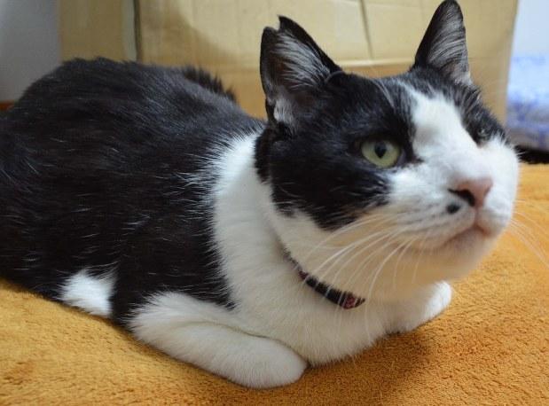 筆者が保護していた白黒のオス猫。譲渡会にも何度か参加したが、2015年8月に筆者の腕の中で病死した。死後、骨の判定により10歳を超えていたことが判明=14年5月撮影