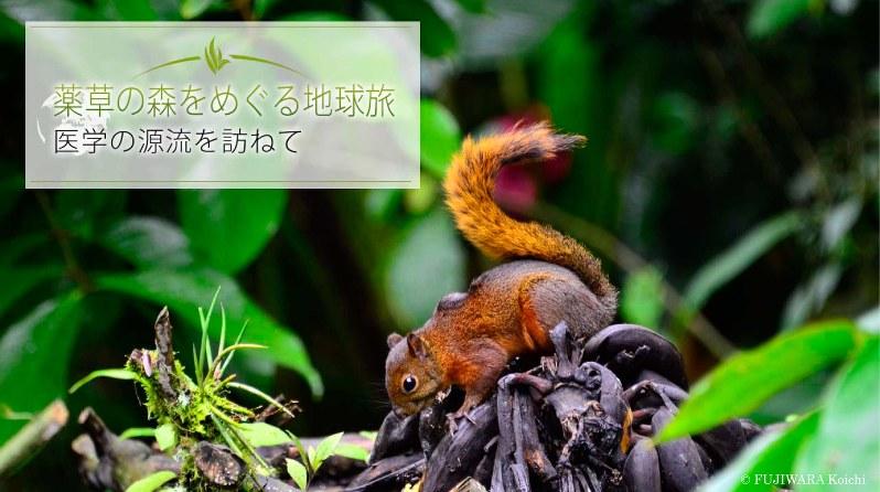 雲霧林で出合ったコクモツリス(学名:Sciurus granatensis)