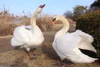 千波湖に生息するコブハクチョウ=水戸市で2017年3月16日、玉腰美那子撮影