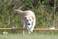 試験に挑戦するきな子=香川県丸亀市の県警察犬訓練場で2010年11月3日、中村好見撮影