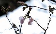 靖国神社にある標本木に咲いた桜の花=東京都千代田区で2017年3月21日午前10時54分、宮武祐希撮影