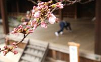 靖国神社にある標本木に咲いた桜の花=東京都千代田区で2017年3月21日午前11時38分、宮武祐希撮影