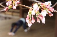 靖国神社にある標本木に咲いた桜の花=東京都千代田区で2017年3月21日午前11時36分、宮武祐希撮影