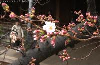 靖国神社にある標本木に咲いた桜の花=東京都千代田区で2017年3月21日午前11時53分、宮武祐希撮影