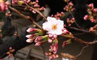 靖国神社にある標本木に咲いた桜の花=東京都千代田区で2017年3月21日午後0時2分、宮武祐希撮影