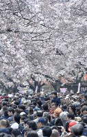 Crowds enjoy strolling under cherry blossoms in full bloom in Tokyo's Taito Ward on April 2, 2017. (Mainichi)