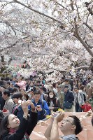 People take photos of cherry blossoms in full bloom, in Tokyo's Taito Ward on April 2, 2017. (Mainichi)