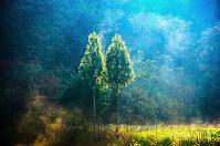 仲良く並ぶ杉が、朝の光を浴びてまぶしく輝いた=島根県邑南町で、日本写真家協会会員・船津健一撮影