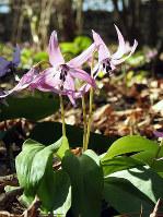 「春の妖精」と呼ばれるカタクリ。一つの茎に一つの花を咲かす=神戸市北区の市立森林植物園で、福家多恵子さん撮影