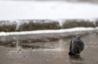 氷点下の寒さに動かないハト=札幌市中央区で2017年4月13日午後、梅村直承撮影