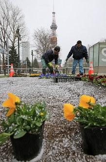 雪が吹き付ける中、続く春花壇の造成作業=札幌市中央区で2017年4月13日午前、梅村直承撮影