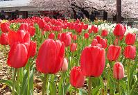 チューリップが見ごろを迎えている阪神尼崎駅前の中央公園芝生広場=兵庫県尼崎市で、山本未来撮影