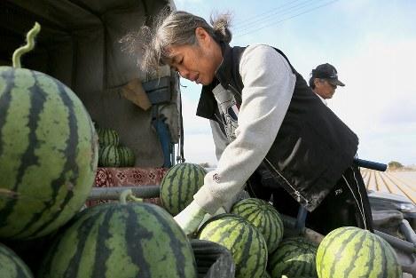 スイカの収穫作業をする河添登志子さん(57)=手前=と夫の敏明さん(62)。4月16日の「本震」で娘の由実さん(当時28歳)を亡くした。4~5月にピークを迎える収穫作業は昨年の地震後まもなく再開した。「当初は夫と涙流しながら作業していた。仕事中でも、娘の笑顔や小さい頃の姿なんかをぽっと思い出すことがあります」=熊本県益城町で2017年3月8日、和田大典撮影