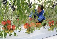 「クボタeファームやぶ」のビニールハウスで収穫されるトマト=兵庫県養父市で2017年3月6日、久野洋撮影