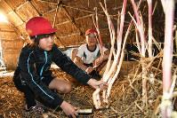 小屋で育ったウドを収穫する児童=兵庫県三田市の市立本庄小学校で、粟飯原浩撮影