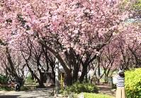 満開になった八重桜=横浜市港北区の「菊名桜山公園」で
