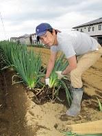 一戸建て住宅に囲まれた畑で、オリジナル野菜「苅部ネギ」を収穫する苅部博之さん