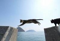 青空の下、ぴょんぴょんと防波堤で跳ぶ猫=香川県佐柳島で2017年3月14日、望月亮一撮影