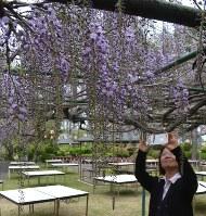 香り高い紫の花を咲かせた相浦駐屯地のフジ棚