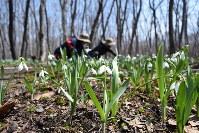 真っ白な花を咲かせたヒガンバナ科の「スノードロップ」