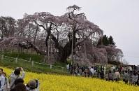 ベニシダレザクラの巨木「三春滝桜」は福島県三春町のシンボル。首都圏や東北地方などからも多くの観光客が訪れていた=2017年4月17日、小林祥晃撮影