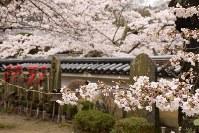 桜が咲き誇る福聚寺の境内=福島県三春町で2017年4月18日、小林祥晃撮影