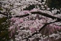 ソメイヨシノとシダレザクラの競演=福島県三春町の福聚寺で2017年4月18日、小林祥晃撮影