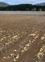 水害の被害を受けたジャガイモ畑=南富良野町幾寅地区で昨年9月、澤俊太郎撮影