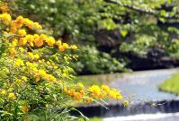 咲き誇るヤマブキ=京都府井手町の玉川堤で、桑田潔撮影