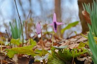 New Japanese dog's tooth violets are seen in Nagano Prefecture. (Photo courtesy of the C.W. Nicol Afan Woodland Trust)