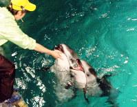 ショーで活躍するイルカの親子=兵庫県豊岡市の城崎マリンワールドで、高田房二郎撮影