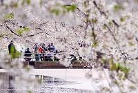 カメラなどを手に、弘前公園の桜を楽しむ人たち=青森県弘前市で2017年4月30日午後4時37分、北山夏帆撮影
