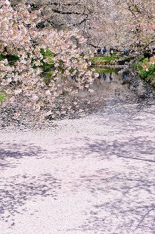 散り始めた桜の花びらが水面に落ち、美しい花筏を見せる弘前公園の外堀=青森県弘前市で2017年5月1日午前10時46分、北山夏帆撮影