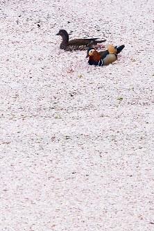 散った桜の花びらが落ちる水面を泳ぐオシドリ=青森県弘前市の弘前公園で2017年4月30日午後5時19分、北山夏帆撮影