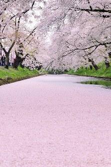 散り始めた桜の花びらが水面に落ち、美しい花筏を見せる弘前公園の外堀=青森県弘前市で2017年4月30日午後3時24分、北山夏帆撮影