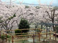 ビオトープの周囲で桜が満開