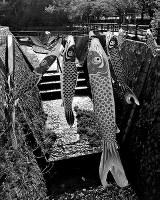 「薫風に身をくねらせて泳ぐ鯉五月の空で恋するように」短歌・白築純 撮影・Ken.Funatsu
