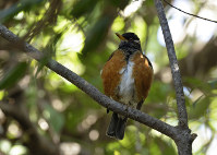 木漏れ日の中で羽を休めるアカコッコ=フリーカメラマンの尾上和久さん撮影